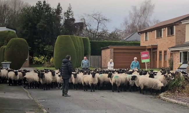 Sheep loose in Green Park, Wrexham. Photo: Twitter uswer Kayleigh_rs