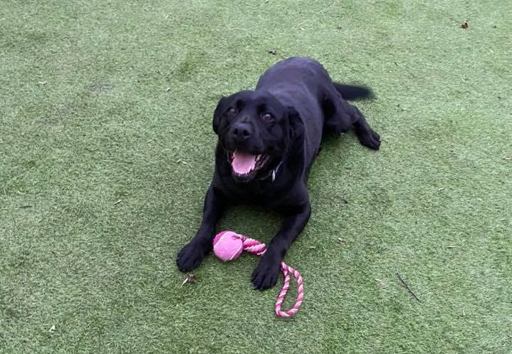 Labrador Lola has love to give and is looking for a new life