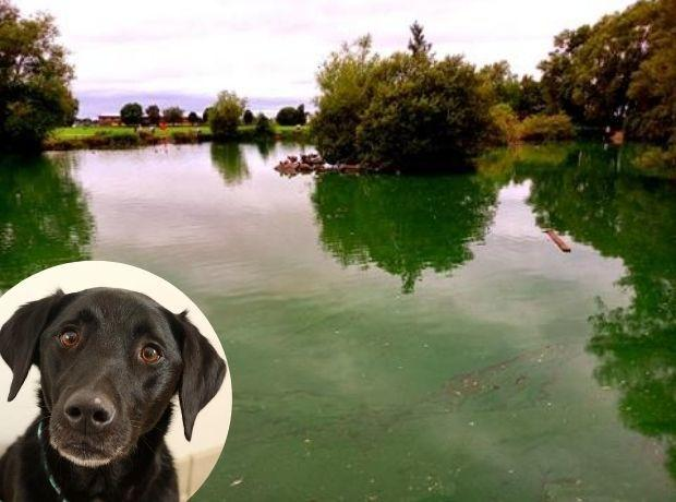 Buckley common pond has been covered in blue green algae. (Credit - Chris Deacon and daughter Jess)