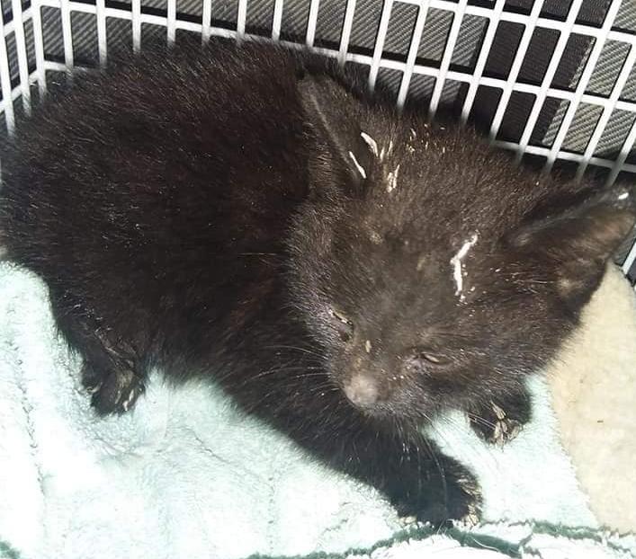 "Kitten found with severed tail ""dumped"" in skip in Flintshire"