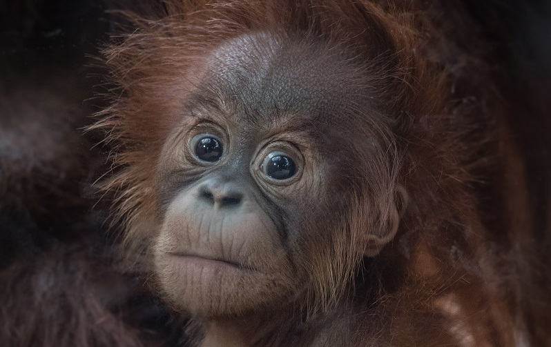 Chester Zoo's latest orangutan arrival has been named Kesuma by primate keepers