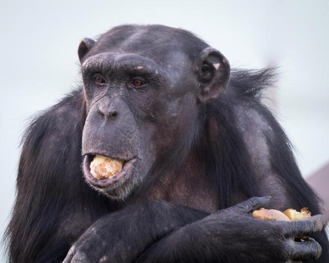 Chimps chomp on spuds to keep warm at Welsh Mountain Zoo