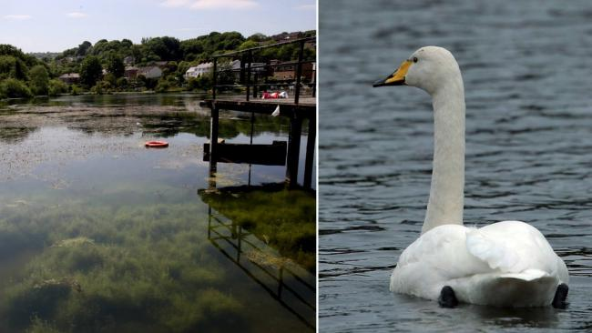 Greenfield Valley confirm that a swan has died on Flour Mill Pond